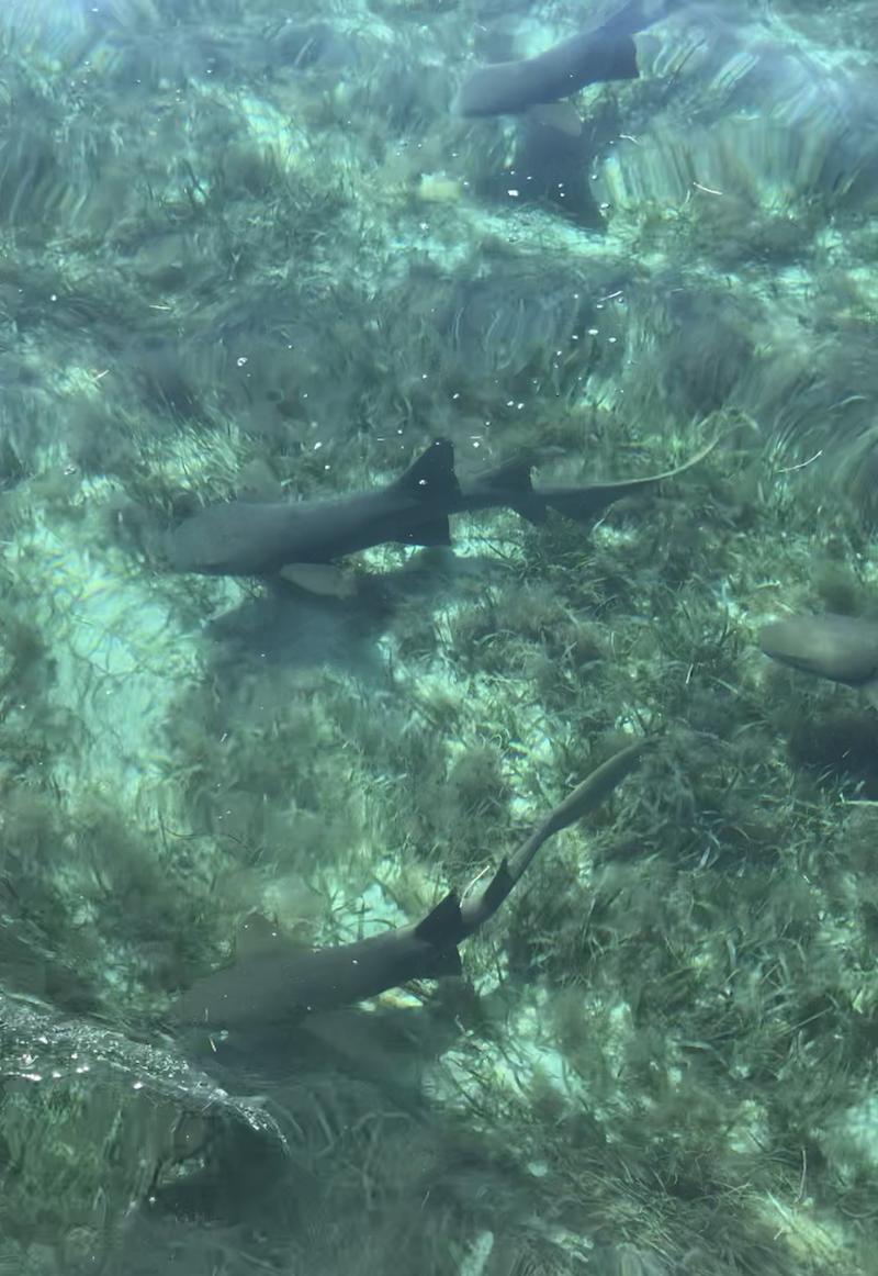 Tiburones_Belize